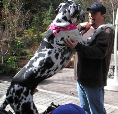 Gibson, Great Dane Dog