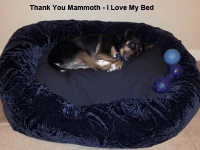 Blu enjoying his Mammoth Dog Bed