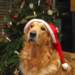 retriever with hat