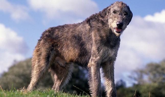 spotlight-on-the-irish-wolfhound-image