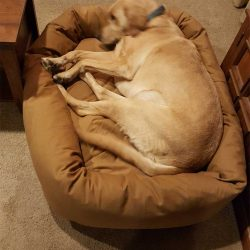 lab-on-orthopedic-mammoth-dog-bed