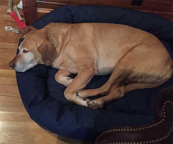 lab-on-mammoth-memory-foam-dog-bed2.jpg