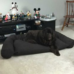 newfoundlander-on-dog-couch