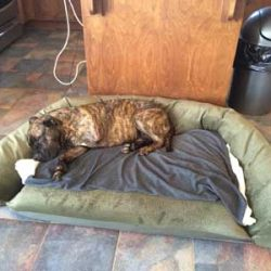 mastiff-on-couch-3a