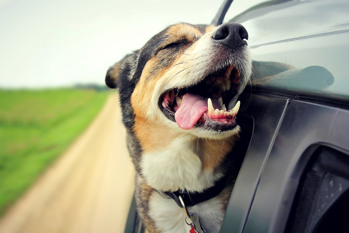 dog outside car window