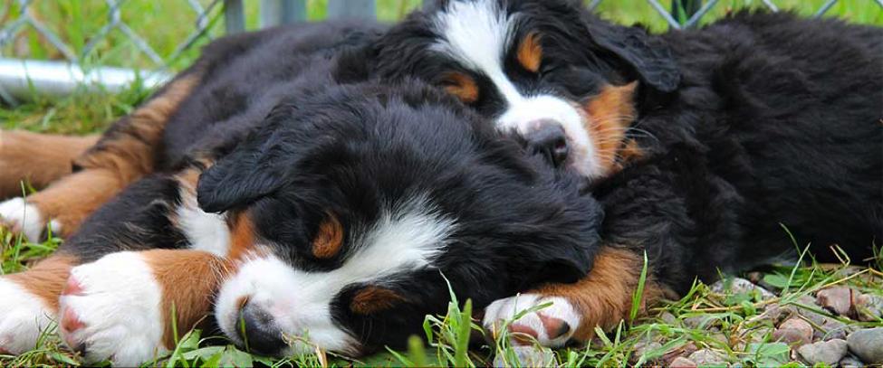 Bernese pups