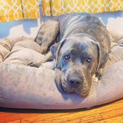 big dog on bed