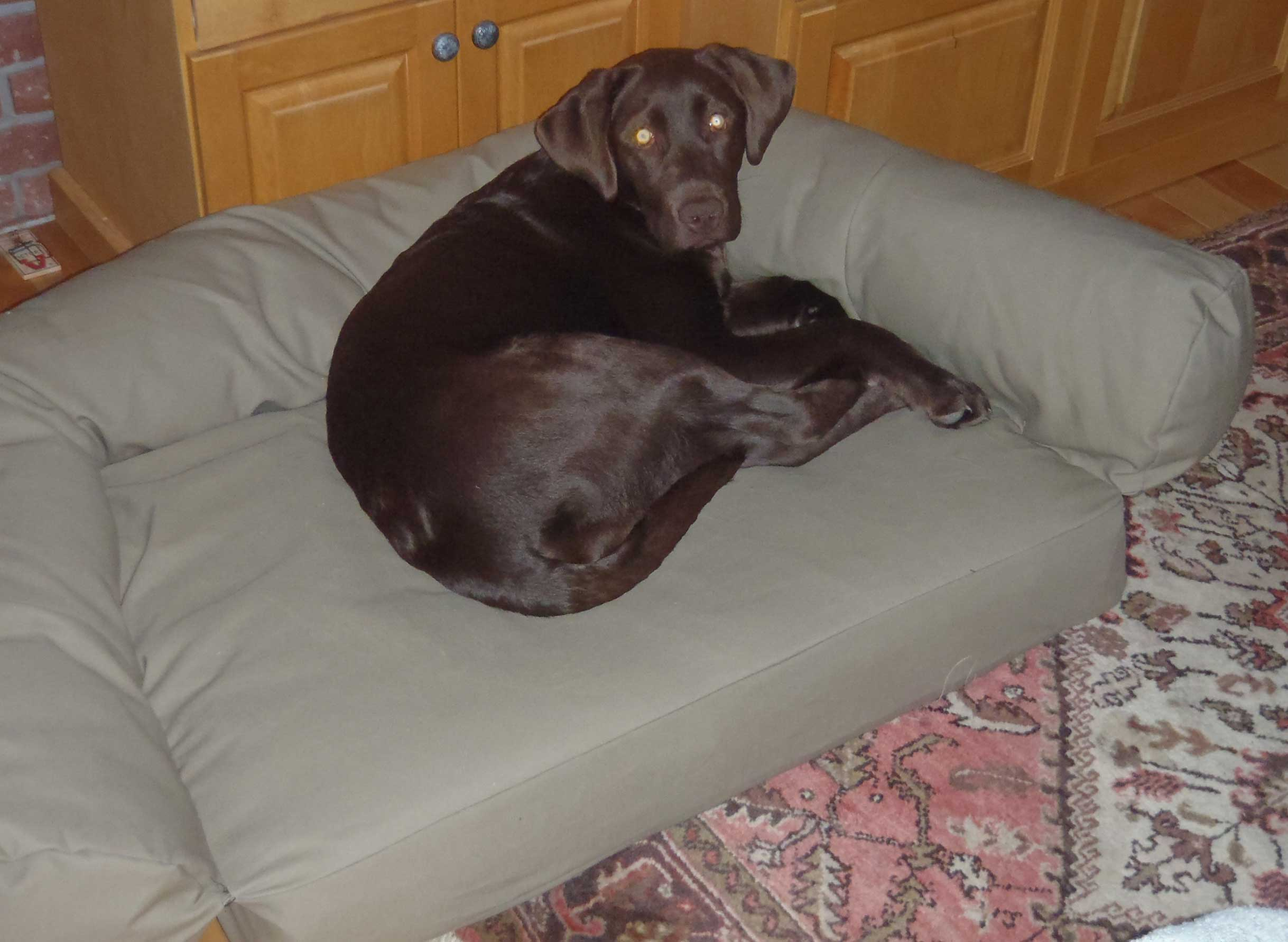 lab on dog couch