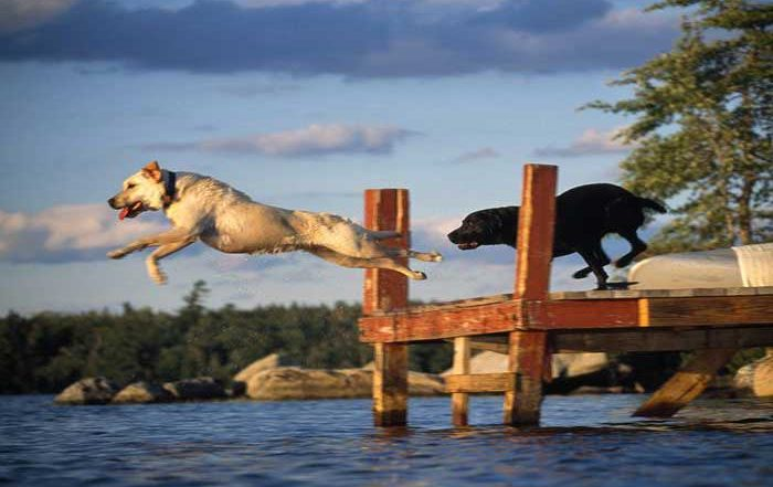 Dogs jumping off dock